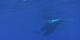 pilot-whales