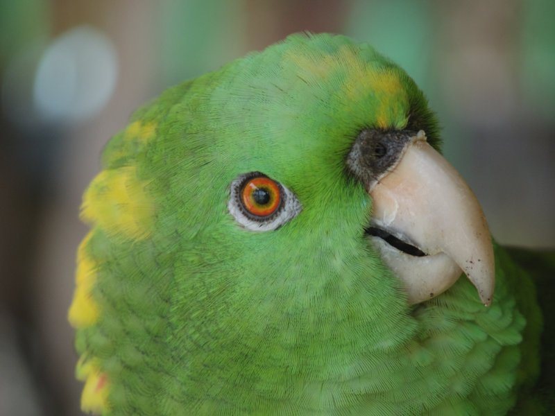 reef-house-polly-parrot-1