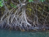 mangrove-roots-roatan