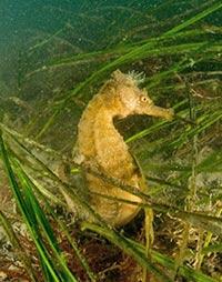pacific_seahorse