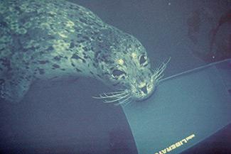 Monterey Harbor Seal