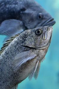Blue Rockfish Monterey SCUBA Diving