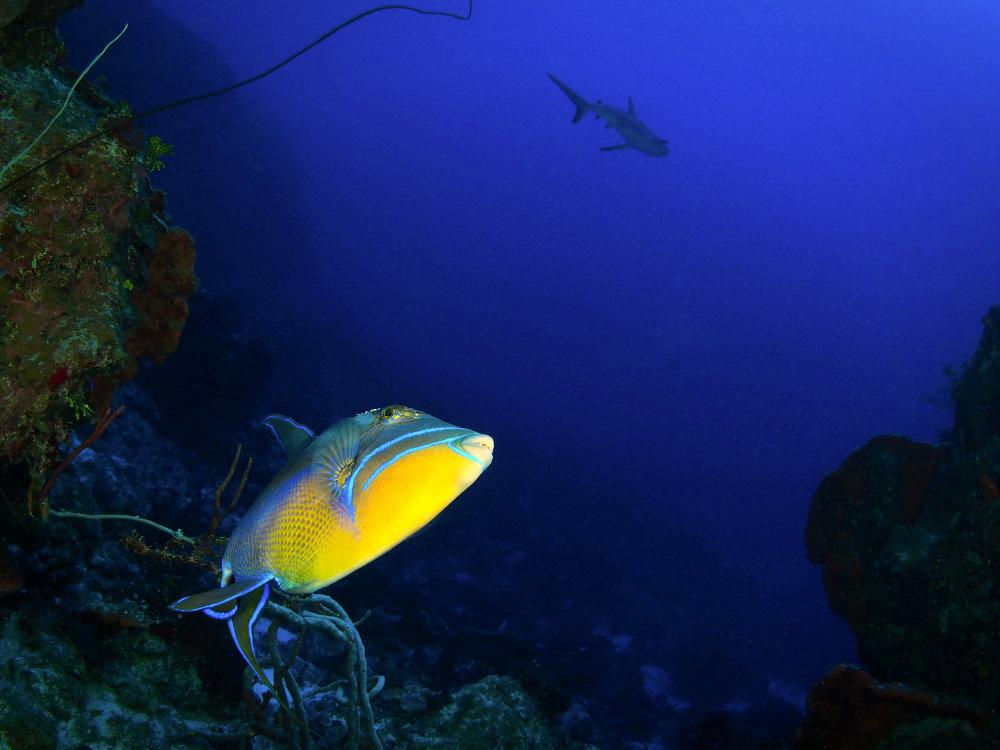 Bahamas Queen Trigger Fish Watching Shark