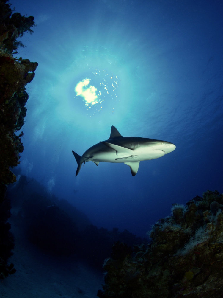 Bahamas shark diving. Riding Rock Resort, San Salvador