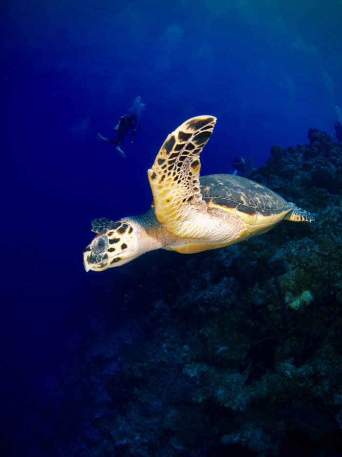 Hawksbill turtle underwater San Salvador, Bahamas